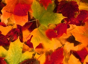 fall_leaves_autumn